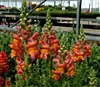Antirrhinum Opus Orange