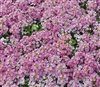 Alyssum Pixie Dp Rose