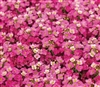 Alyssum Pixie Rose_disc