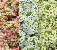 Alyssum Pixie Citrus Mix