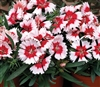 Dianthus Sup Parf Red Pep'Mint Pellets