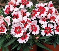 Dianthus Sup Parf Red PMintPel