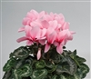 Cyclamen Rainier Lt Pink/Eye