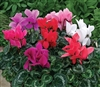 Cyclamen Rainier Mix