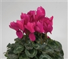 Cyclamen Rainier Purple