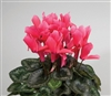 Cyclamen Rainier Rose