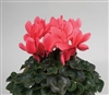 Cyclamen Rainier Salmon