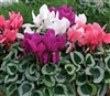 Cyclamen Winter Ice Mix