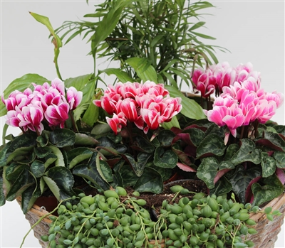 Cyclamen Picola Shine Mix