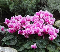 Cyclamen Goblet Shine Purple