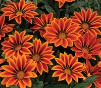Gazania Kiss Orange Flame