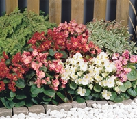 Begonia Sprint Mix Pellets