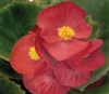 Begonia Sprint Red Pellets
