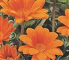 Gazania Gazza Orange