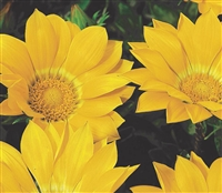 Gazania Gazza Yellow