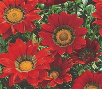 Gazania Gazza Red/Ring