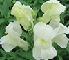 Antirrhinum Snappy White