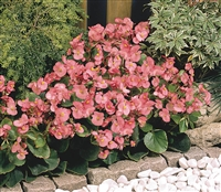 Begonia Sprint Rose Pellets