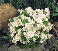 Begonia Sprint White Pellets