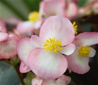 Begonia Nightlife Blush Pellet