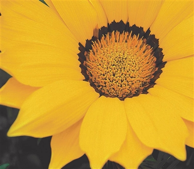 Gazania Gazza Yellow/Ring