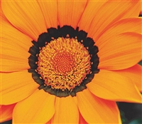 Gazania Gazza Orange/Ring