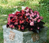Begonia Nightlife Mix Pellets