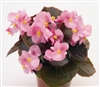 Begonia Nightlife Pink Pellets