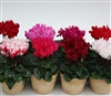 Cyclamen Picola Mix (Micro)