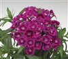 Dianthus Diabunda Purple Pellets