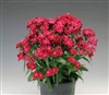 Dianthus Diabunda Red Pellets