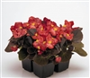 Begonia Nightlife Red Pellets