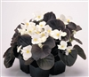 Begonia Nightlife White Pellet