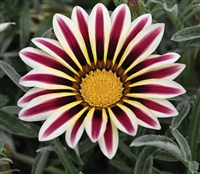 Gazania Kiss Frosty White Flam