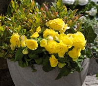 Begonia New Star Yellow Pellet