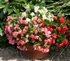 Begonia Fairyland Mix Pellets