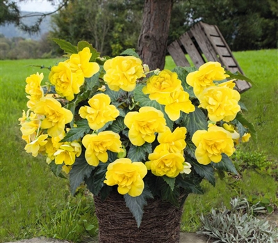 Begonia Joy Yellow Pellets