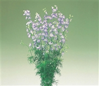 Larkspur Cannes Purple Picotee