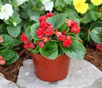Begonia Fairyland Red Pellets_disc