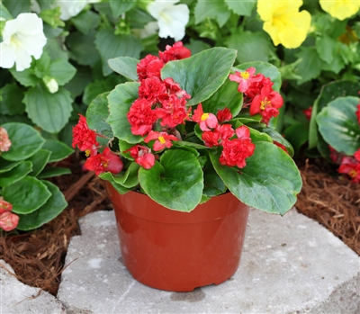 Begonia Fairyland Red Pellets