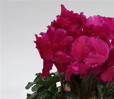 Cyclamen Maxfringe Purple