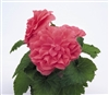 Begonia Tub Non Stop Pink Pellets