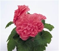 Begonia Tub Non Stop Pink Pell
