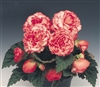 Begonia Tub Non Stop Rose Pell