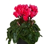 Cyclamen Verano Sync Salmon Red