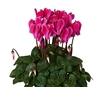 Cyclamen Verano Wine Flame