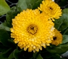 Calendula Costa Lt Yellow(Dwar