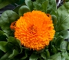 Calendula Costa Orange (Dwarf