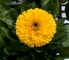 Calendula Costa Yellow (Dwarf