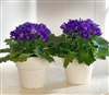 Cineraria Polaris Dark Blue_disc